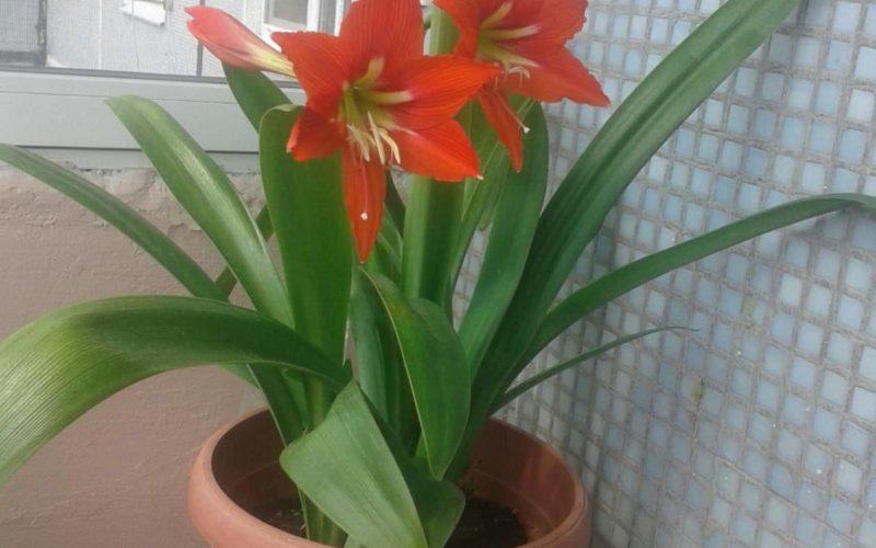 зеленое растение с большими красными цветами