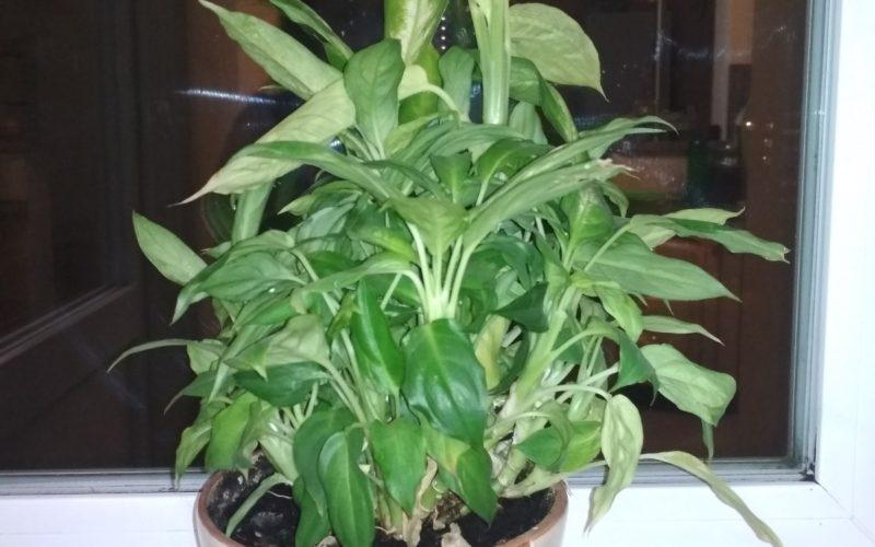 Как называется комнатное растение