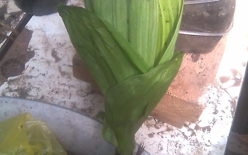 Зелёное растение с крупными листами и мощными корнями у корня к стеблю сус