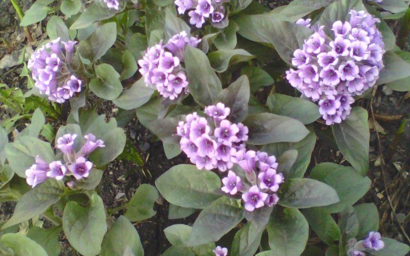 Первоцвет с фиолетовыми цветами