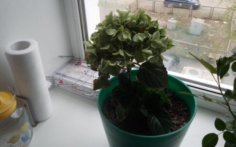 Зелёное растение с голубыми цветами