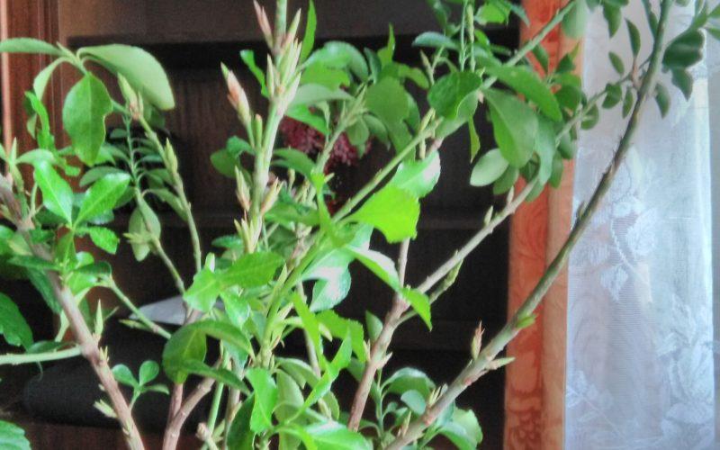 Зелёное ростение,помогите определить что за ростение
