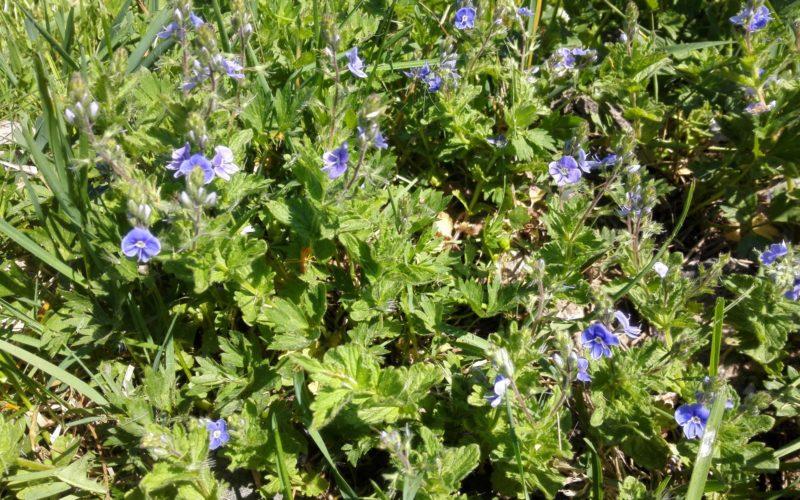 Голубые цветочки.