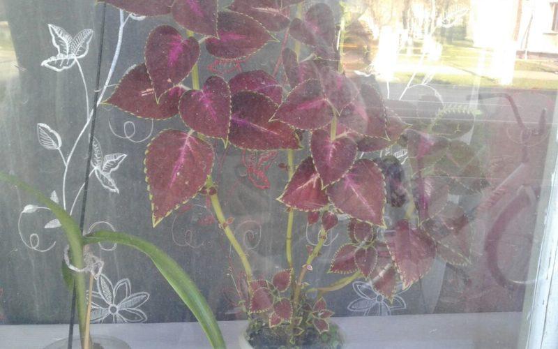 Зелёное растение с фиолетовым окрасом на лепестках