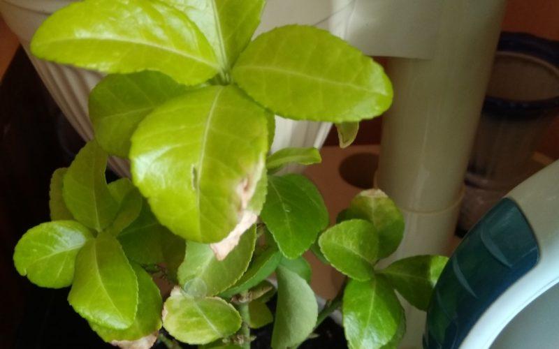 Светло-зеленое комнатное растение с парнями листьями