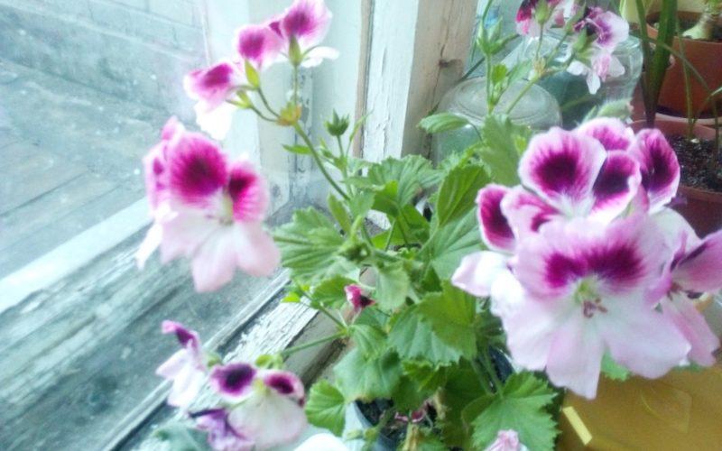 Растение с розетками из цветов