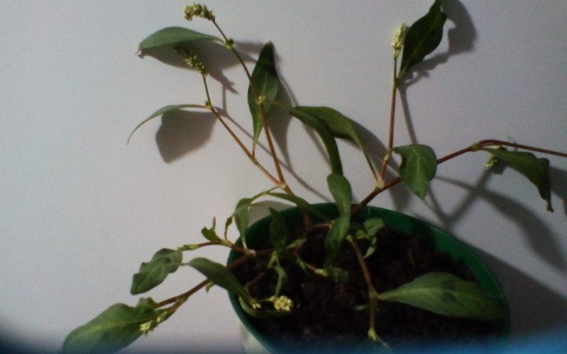 зеленое растение с маленькими белыми цветками
