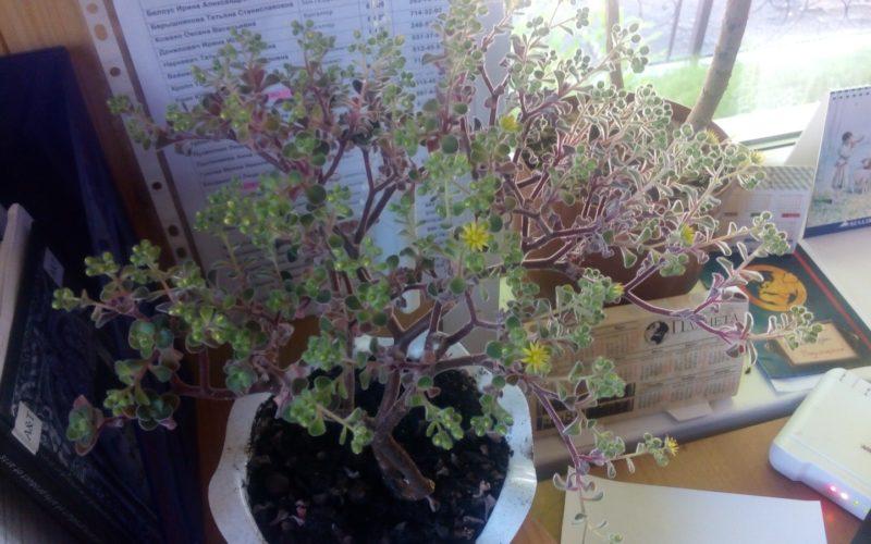 Зелёный цветок, выглядит как дерево, цветет мелкими желтыми цветками