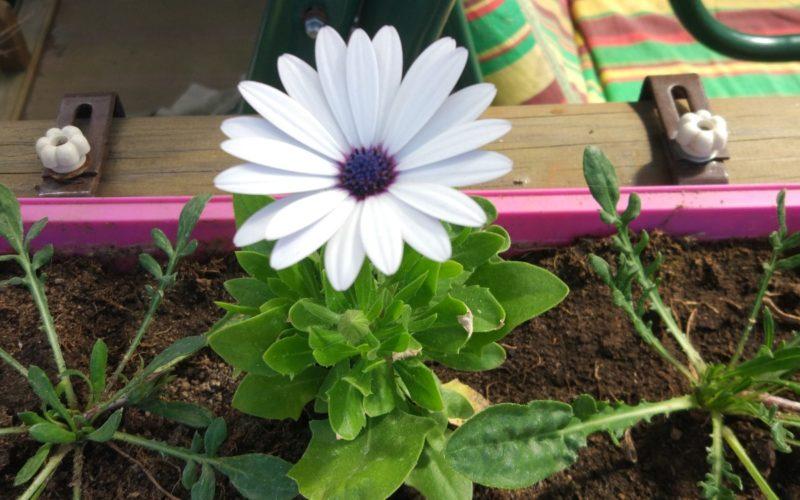 Зелёное растение с желтыми или белыми ромашковидными цветами