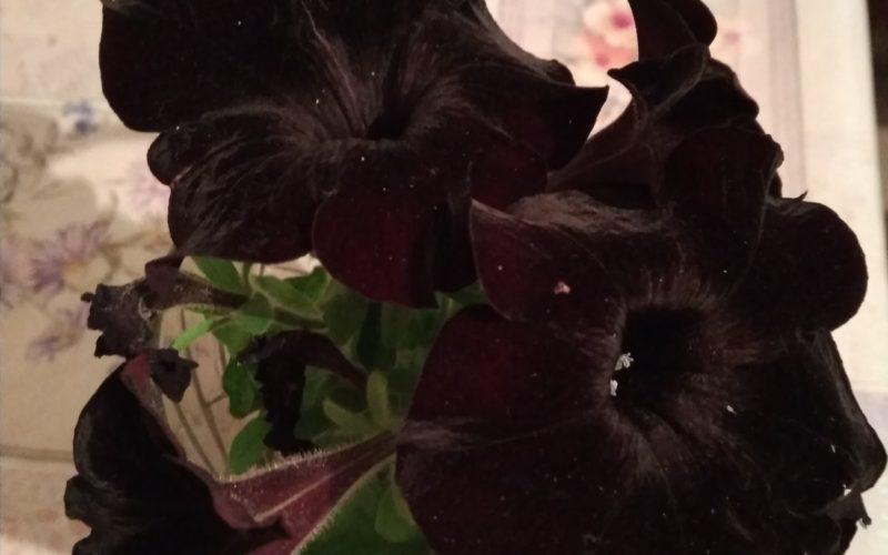 Зелёное растение с черными бархатистыми цветами