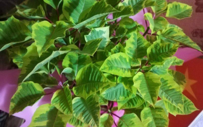 Зелёное растение, меняющее цвет на красный