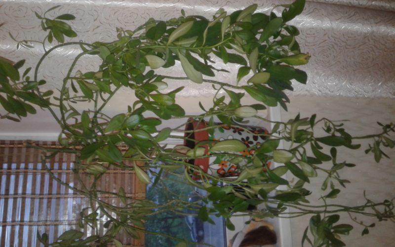 Растение семейства молочаевых