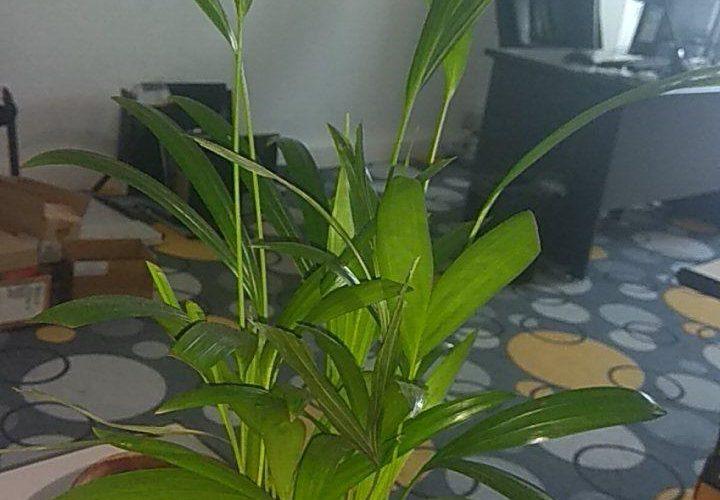 Зеленое растение с рздвоенными листьями