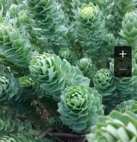 Зеленое кустик, с интересными листьями