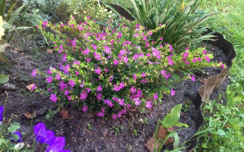 растение с мелкими цветами