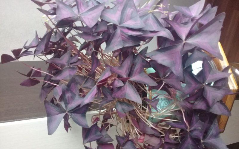 Бардовое растение с лиловыми цветочками