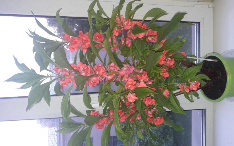 цветок с многочисленными розовыми цветами
