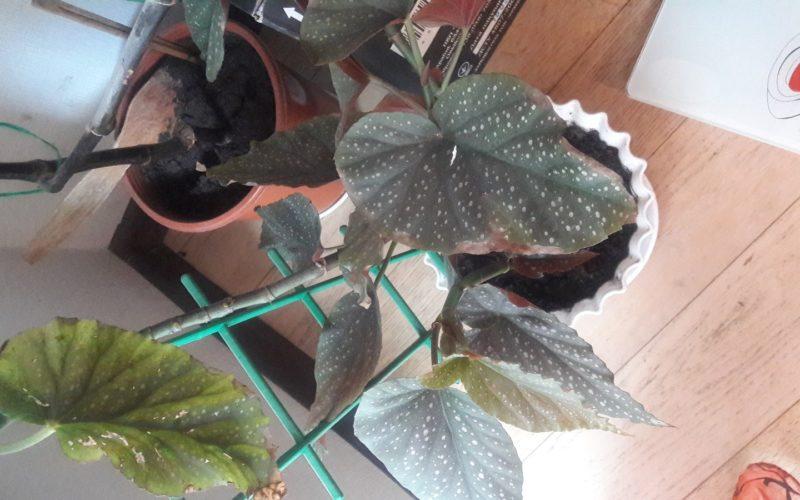 Высокое комнатное растение с большими оистьями