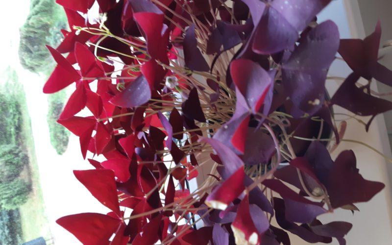 Фиолетовые листочки