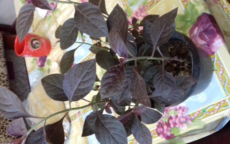 Фиолетовый лист