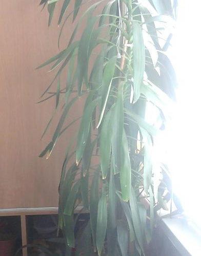 зеленое комнотное растение с длиными зелеными листьями