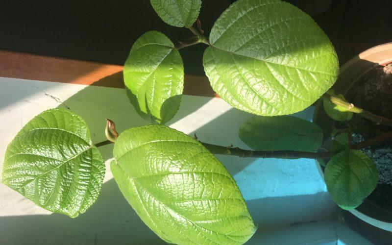 Растение с ярко зелёными шершавыми листьями