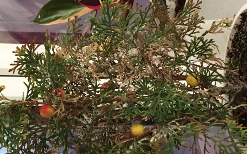Растение, похожее на ёлку