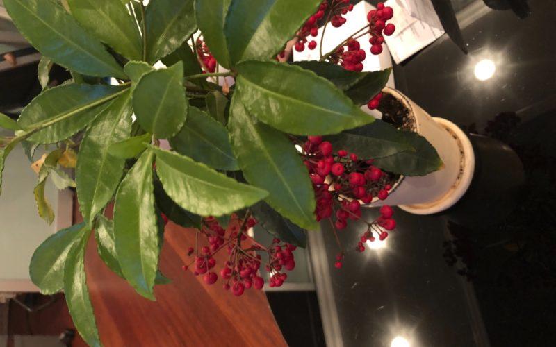 Зеленое растение с красными ягодами