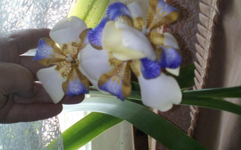 зеленое растение с цветками похожими на цветки ириса