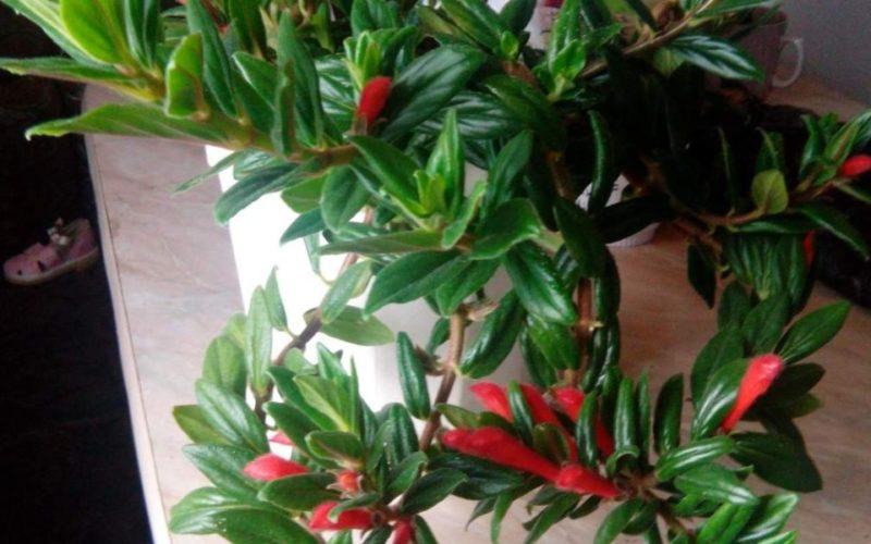 Комнатный цветок с глянцевыми листьями и красивыми цветами