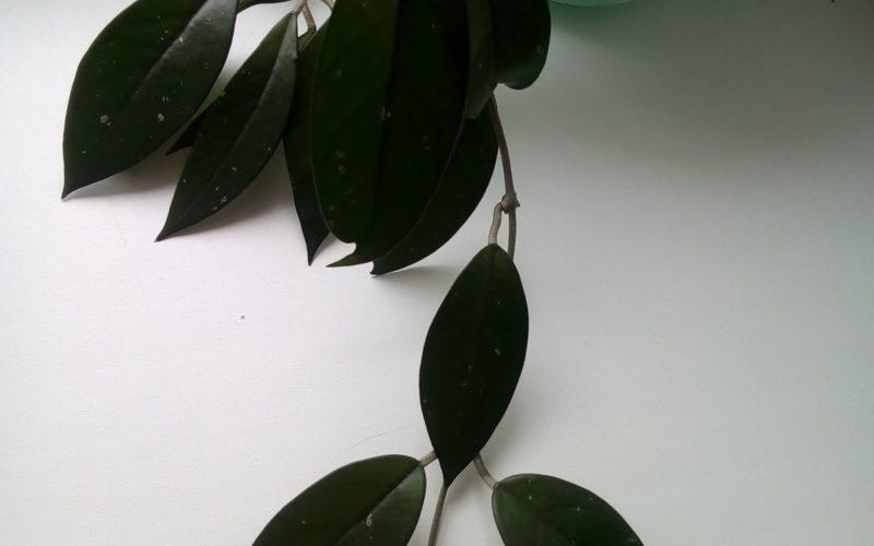 Зелёное вьющееся растение без цветов