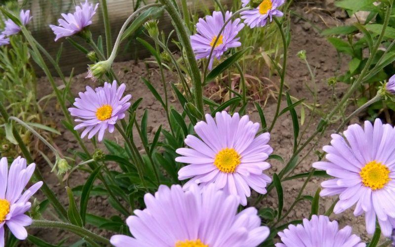Зелёные узкие слегка опушенные листочки и светло-сиреневые цветы