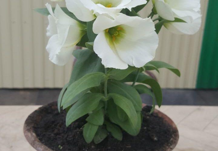 Белые колокольчатые цветы