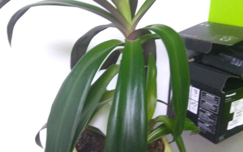 Зеленое растение, листя сверху зелёные, снизу фиолетовые