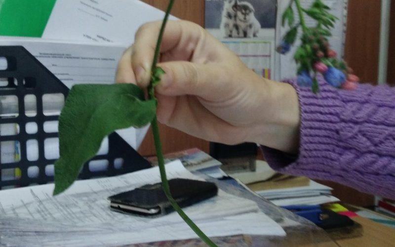 Растение с голубыми цветками