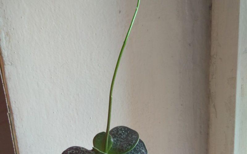 Зелёное растение с толстыми пятнистыми листьями,пустило стрелочку с бутоньчикамибп