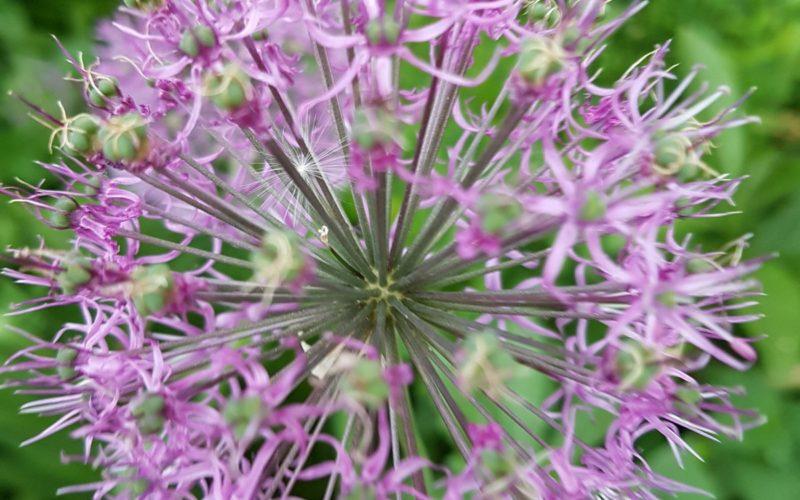 Цветок шаровидной формы лилового цвета