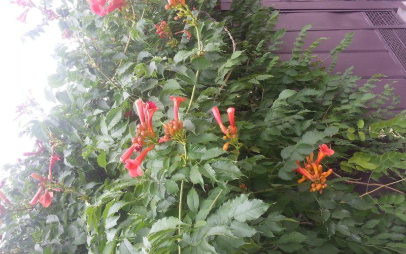 Оранжевые вьющиеся цветы