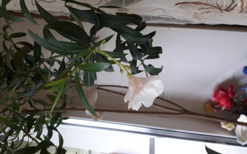 Добрый день! Помогите, пожалуйста, узнать название растения!
