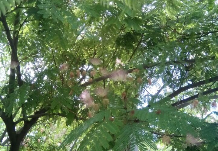 Зеленое дерево с розовыми цветами