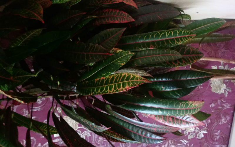 Помогите определить растение,зелёное с жёлтыми полосками.