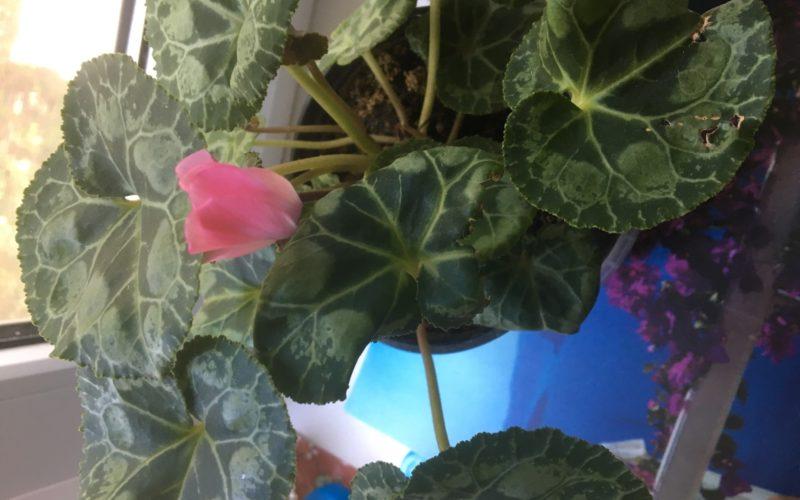 Зеленое растение с нежно-розовым цветочком