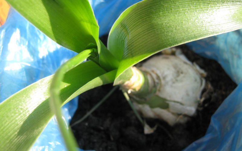 луковичное растение