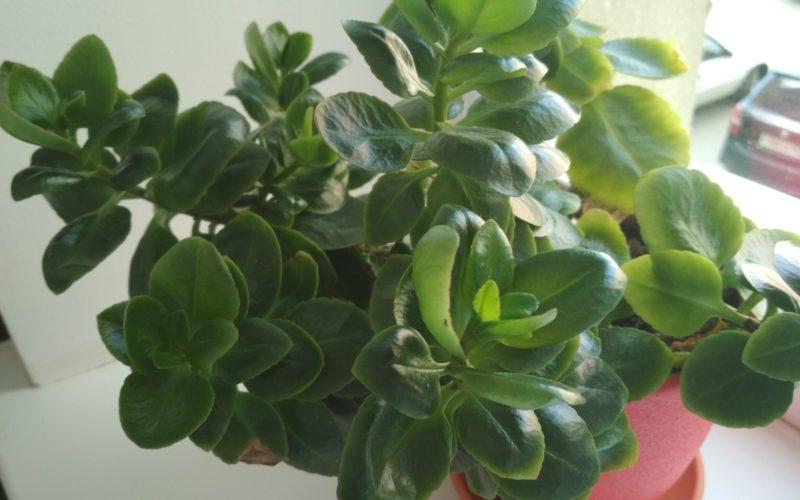 Зелёное растение с красноватыми цветами