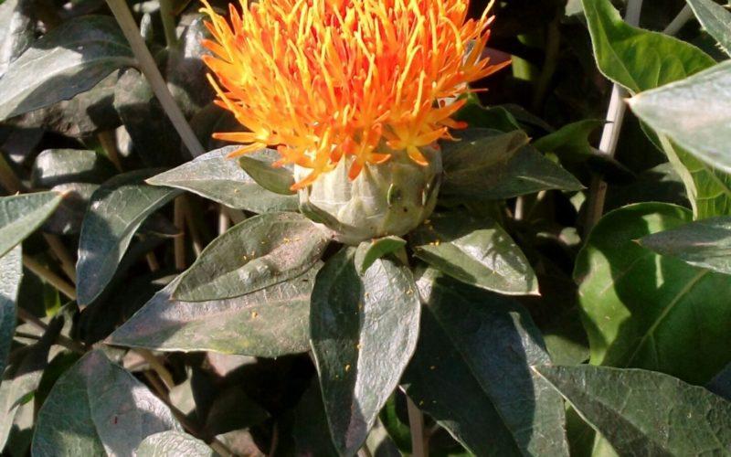 Цветущее растение с колючими листьями