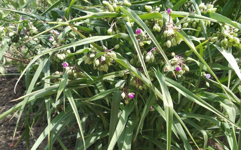 Дачное растение