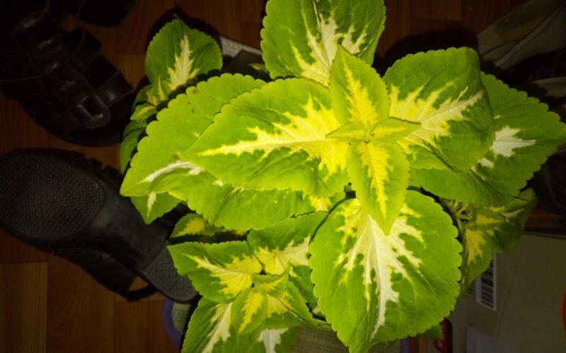 Зелёный цветок с жёлтыми прожилками