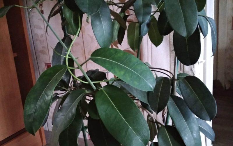Вьющиеся домашнее растение