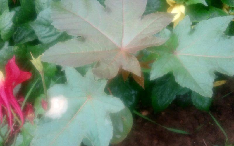 Высокое растение . Листья зелёные и красные