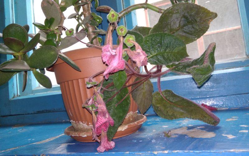 Зелёное растения с розовымвыми цветами